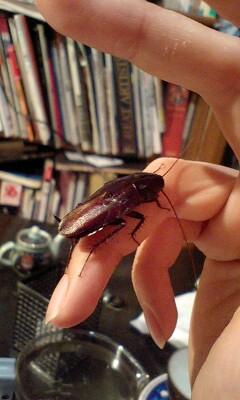 ゴキブリを飼い始めました。(写真あり)